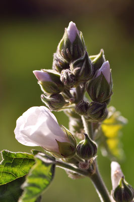 althaea_officinalis_009
