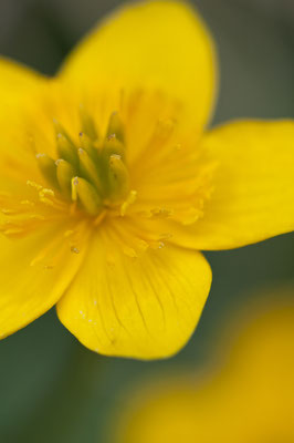 caltha_palustris_005