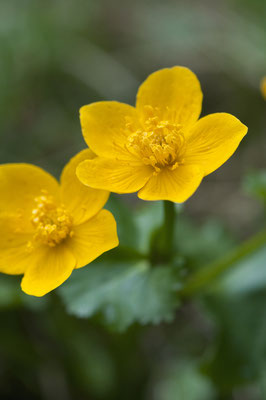 caltha_palustris_004