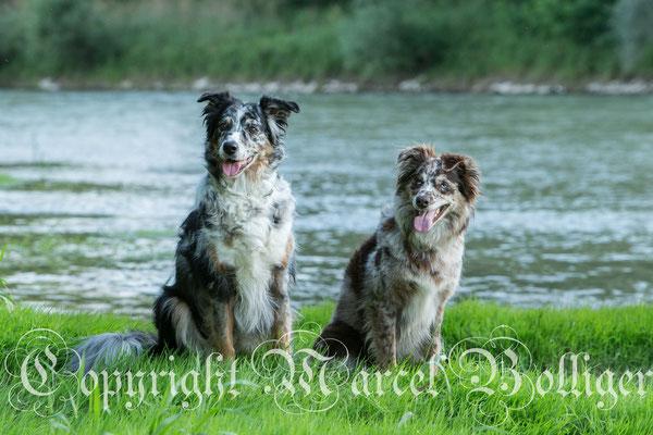 Australian Shepherd Dory und Eiwa