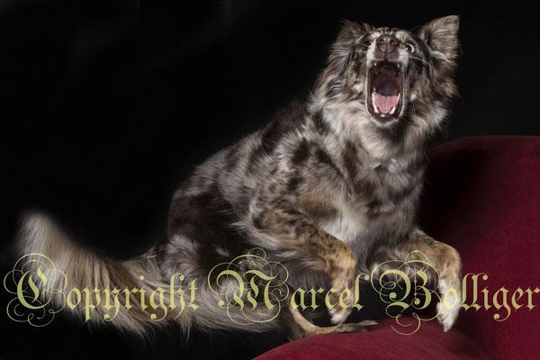 Australian Shepherd Dory