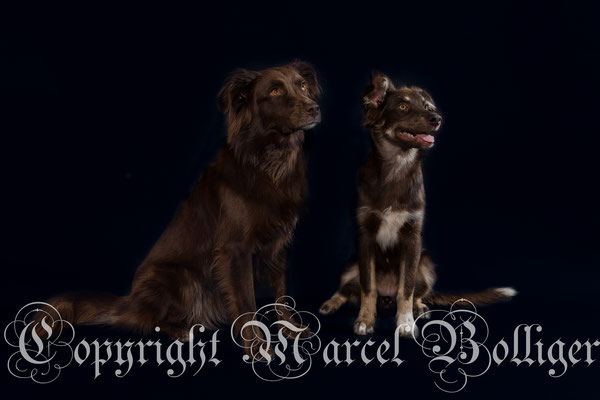 Australian Shepherd Honey und Nika