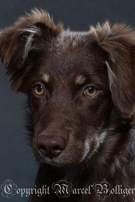 Australian Shepherd Nika