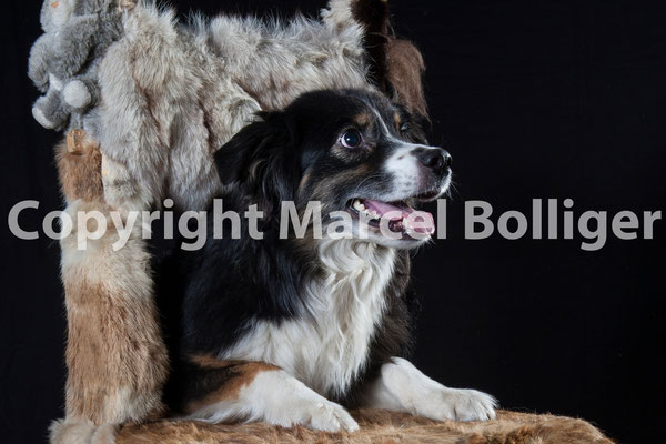 Australian Shepherd Boogie