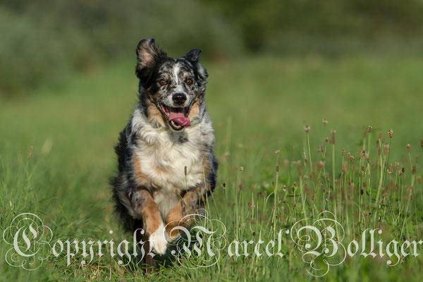 Australian Shepherd Eiwa