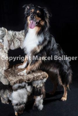 Australian Shepherd Nilson