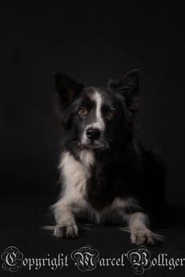 Border Collie Diani