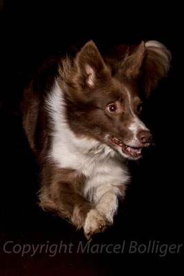 Border Collie Dixie