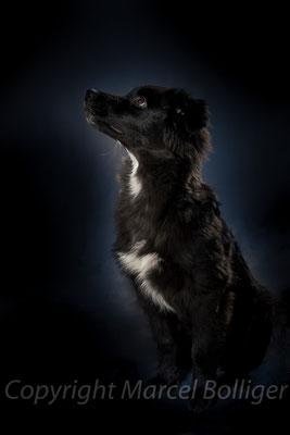 Australian Shepherd Farusch