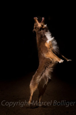 Australian Shepherd Fiara