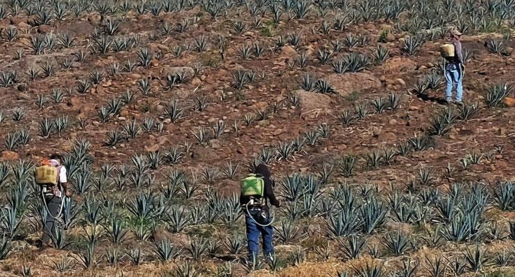 7- 10 Jahre brauchen die Agaven, bis sie Früchte für den Tequila liefern
