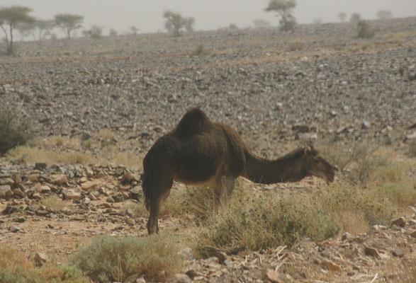 Das Kamel lässt sich vom Wind nicht stören
