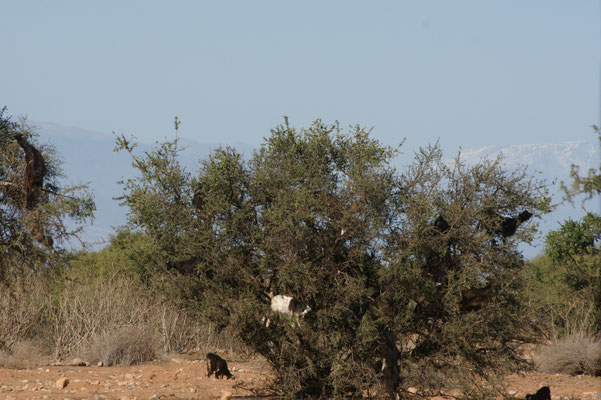 Lange hat's gedauert bis wir Ziegen auf den Arganbäumen sehen