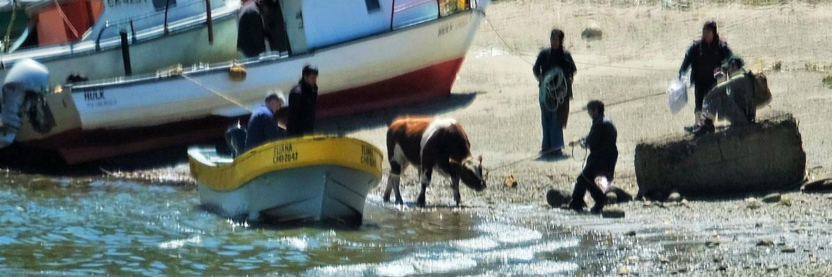 Die Kuh soll ins Boot und......