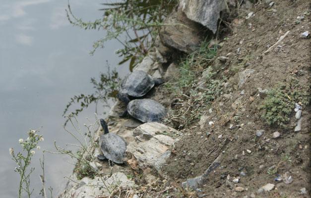 Wasserschildkröten beim sünnele