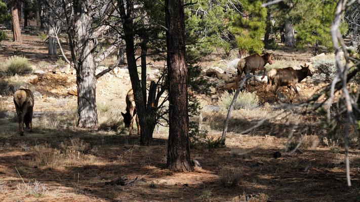 Die Hirsche empfangen uns im Grand Canyon Nationalpark