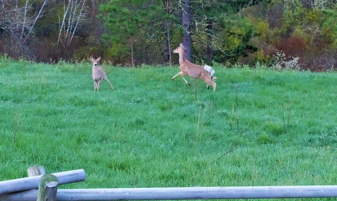 Am Morgen um 6 Uhr stehen sie vor der Türe, doch als ich dieselbe öffne zum fotografieren, ergreifen sie die Flucht.