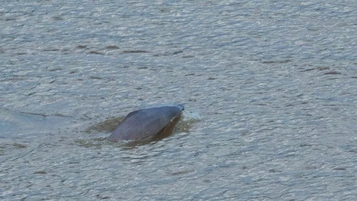 ....die Flussdelfine