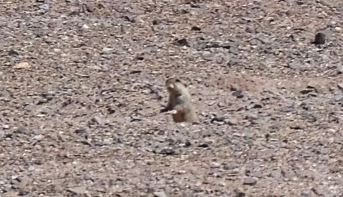 Das Erdhörnchen verschwindet bei jedem Geräusch im Loch und streckt schnell seinen Kopf wieder aus der Erde.