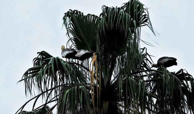 Die grossen langschnabeligen Vögel haben ihre Nester ganz oben in den Palmen