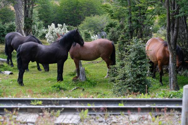 Ueberall Pferde