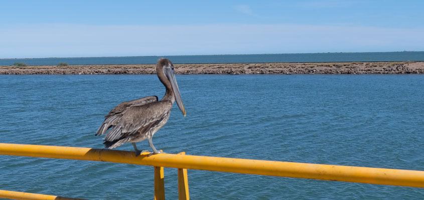 Der Pelikan hat es gut, er weiss nichts von den Massnahmen