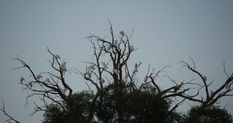 Des nachts sitzen die ganzen weissen Vögel auf dem kahlen Aesten. Camping in Tata