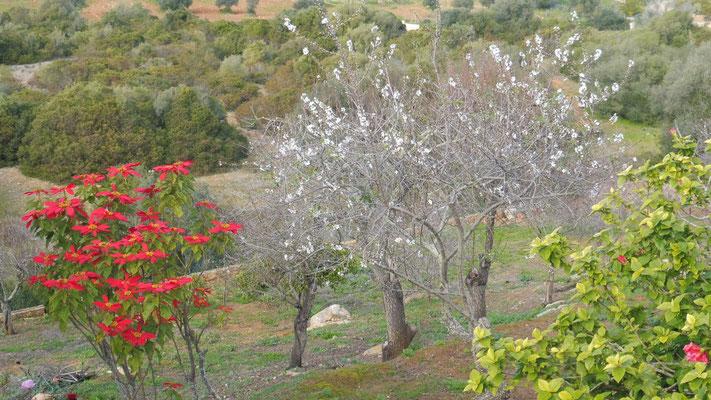 Die ersten Mandelblüten