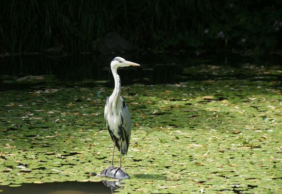 ...und echte Reiher im Teich
