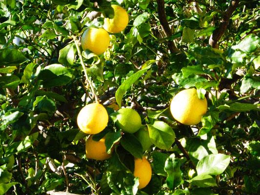 Die Zitronen sind wohl bald erntefähig