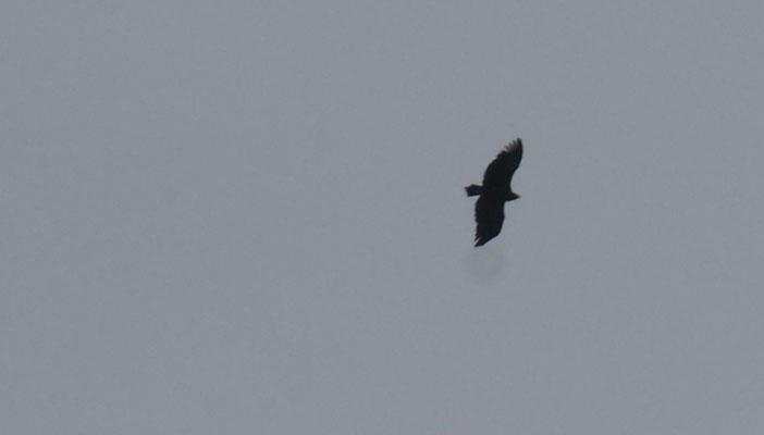 Ein Adler im Alentejo