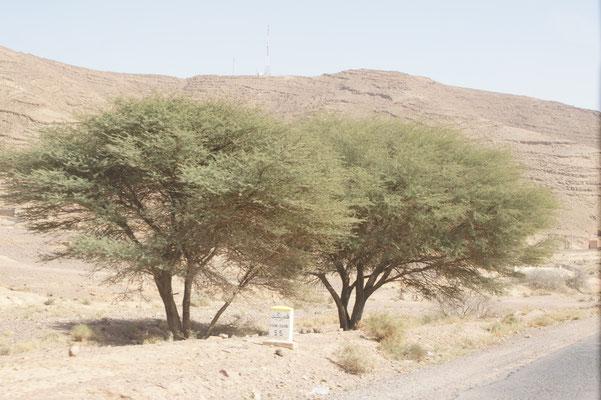 Arganbäume, Ziegen weder drauf noch drunter