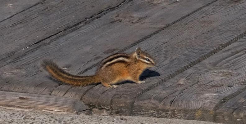 Streifenhörnchen sehen wir dann noch ganz viele