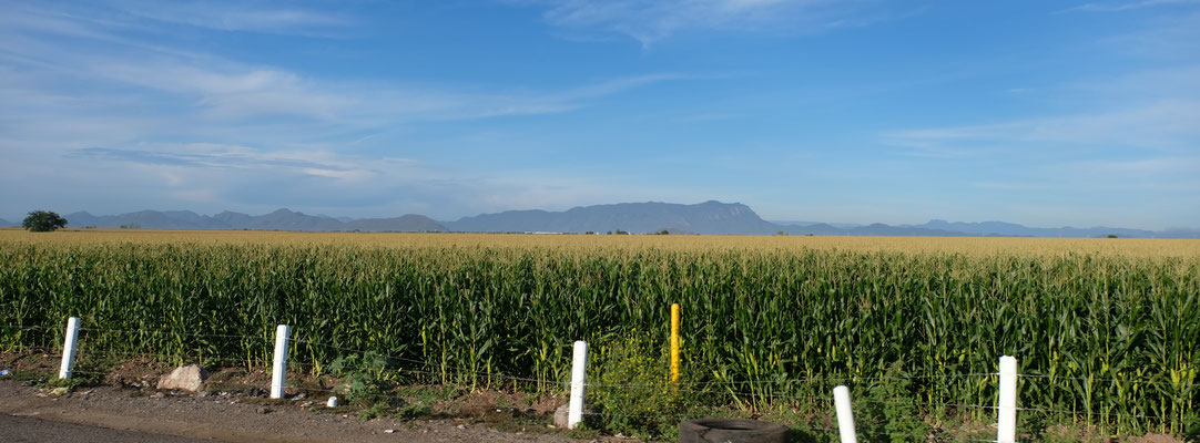 Das Mais in total verschiedenen Reifegraden