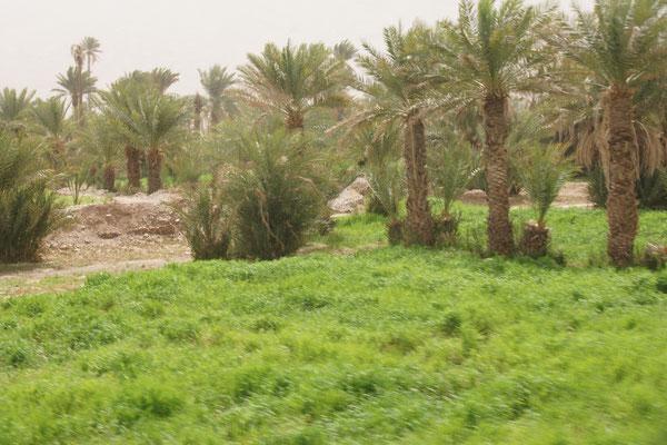 Sehr grüne Oasen entlang des Weges nach Zagora