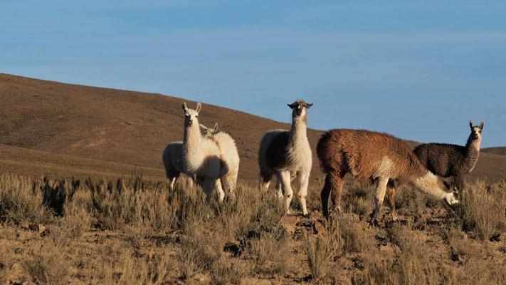 ...endlich wieder Lamas