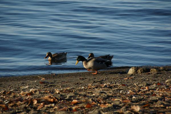 Am Morgen haben die Enten den See noch für sich allein