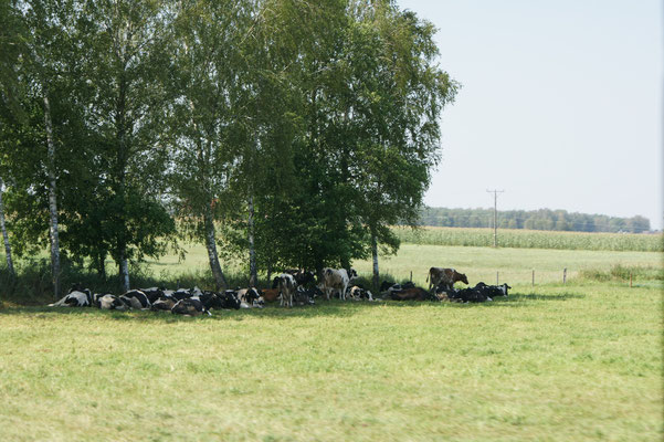 Auch die Kühe suchen den Schatten