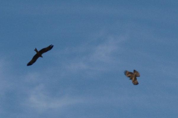 Auch in Spanien Adler beim Liebesspiel