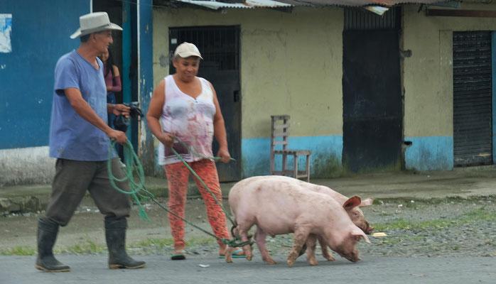 Spazierführen werden die Schweine wohl nicht.