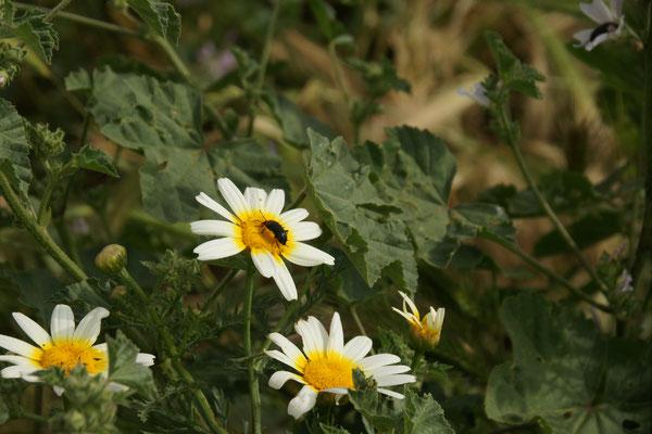 Mal keine Biene sondern ein Käfer tut sich gütlich an der Blüte