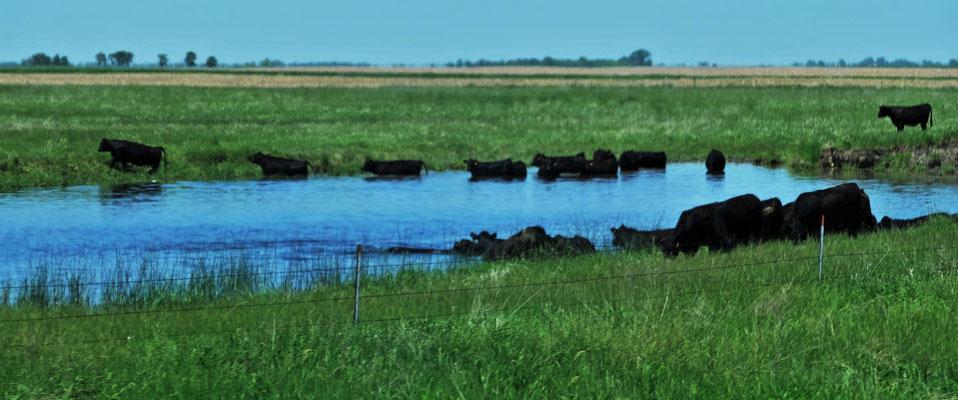 Die Rinder suchen Abkühlung in den Tümpeln.....