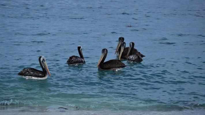 .. die auch hier anwesenden Pelikane....