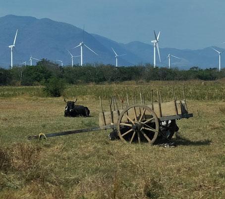 ... der bewegt Hunderte von Windrädern, aber den Ochsen scheint es nicht zu stören