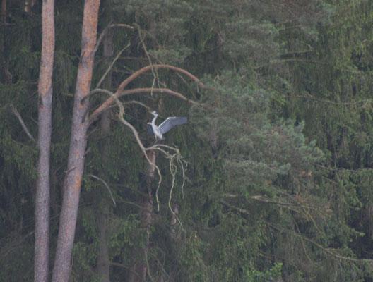Die Reiher nisten hoch oben in den Bäumen