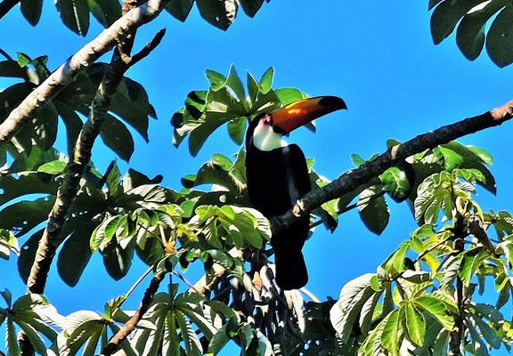 und der Tukan beobachtet alles aus sicherer