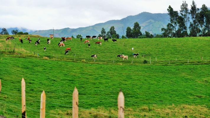 Sogar die Kühe sind die selben wie in der Schweiz