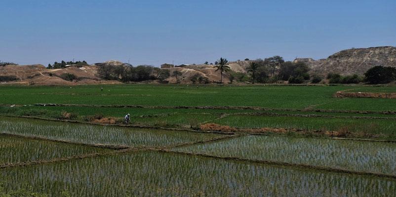 und noch mehr Reisfelder