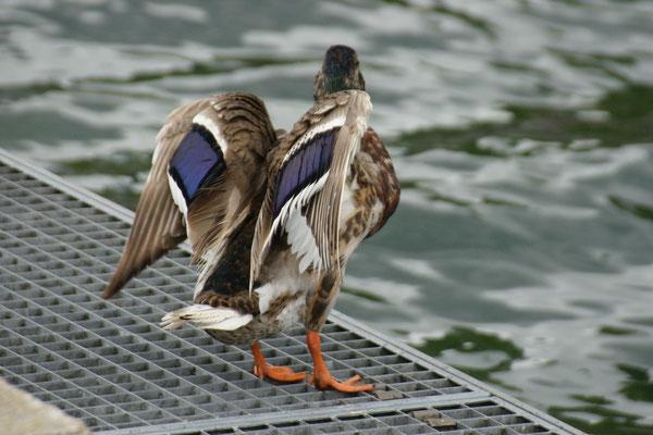 Die Enten erwachen