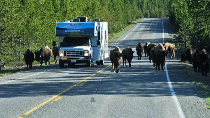 Am Morgen begegnen uns mitten auf der Strasse im Yellowstone die Bisons